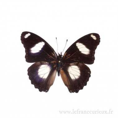 Hypolimnas missipus - mâle