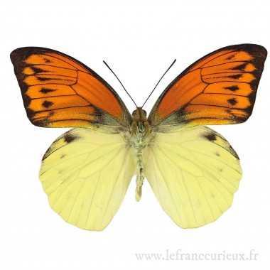 Hebomoia leucippe