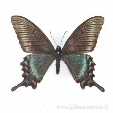 Papilio maackii maackii -...