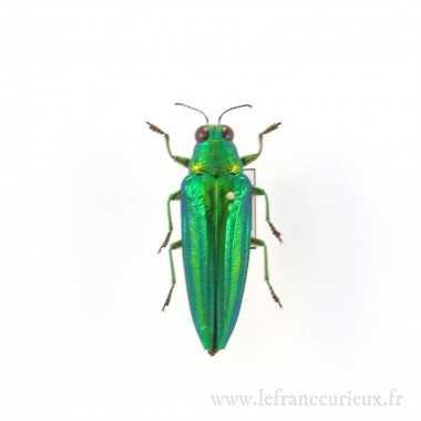 Chrysochroa vittata - mâle