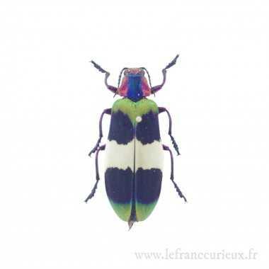Chrysochroa corbetti - mâle