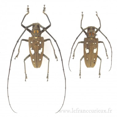 Batocera celebiana - couple...