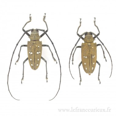 Batocera laena - couple -...