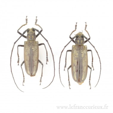 Batocera lineolata - couple...