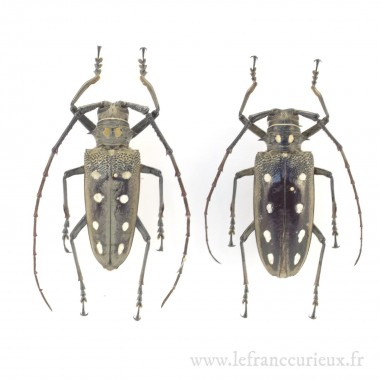 Batocera parryi - couple -...