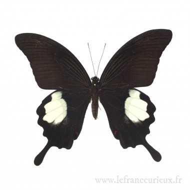 Papilio iswara iswara - mâle