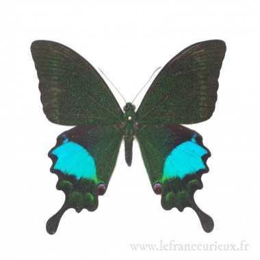 Papilio paris gedeensis - mâle