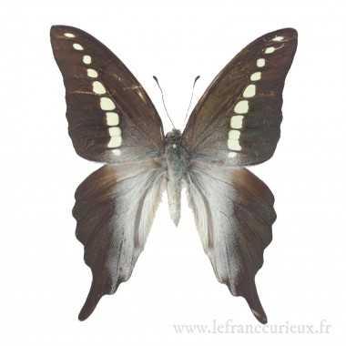 Graphium codrus codrus  - mâle