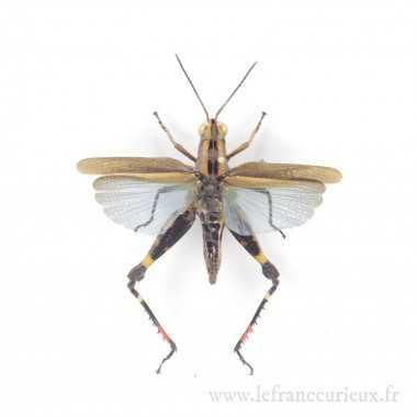 Coloracris azureus - femelle