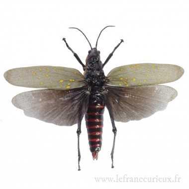 Aularches punctatus - mâle