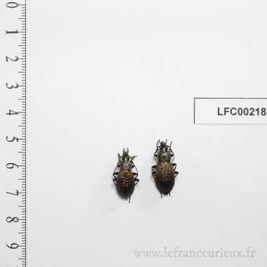 Carabus bertolinii - couple