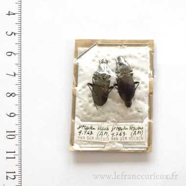Carabus castanopterus - couple