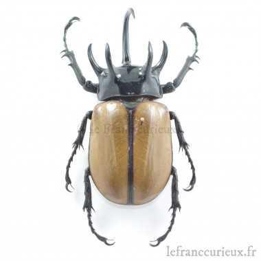 Eupatorus gracilicornis -...