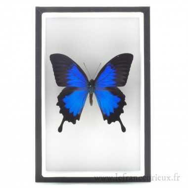 Papilio ulysses monté dans...