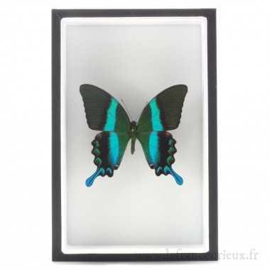 Papilio blumei monté dans...