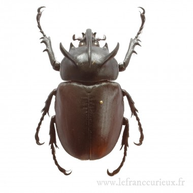 Eupatorus siamensis - mâle...
