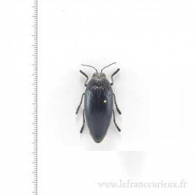Sternocera orissa luctifera...