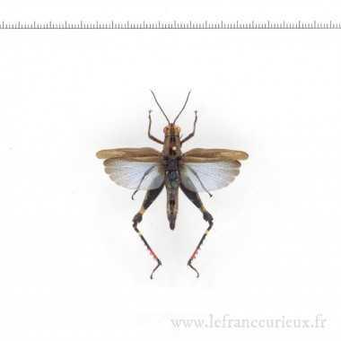 Coloracris azureus - mâle
