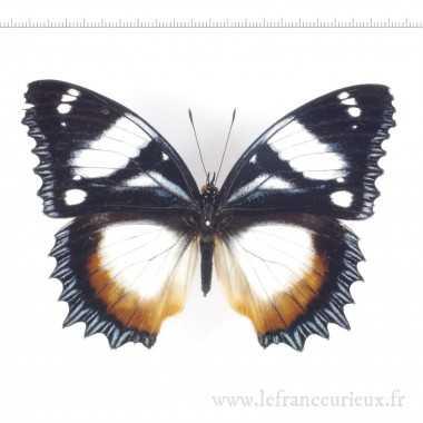 Hypolimnas dexithea A1-