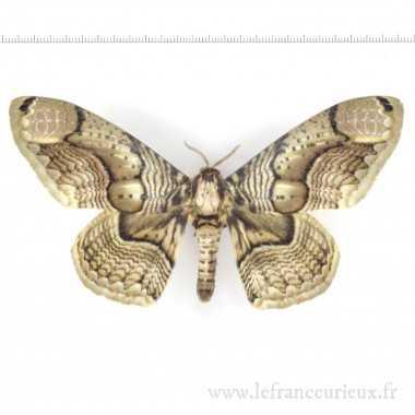 Brahmaea hearseyi - mâle