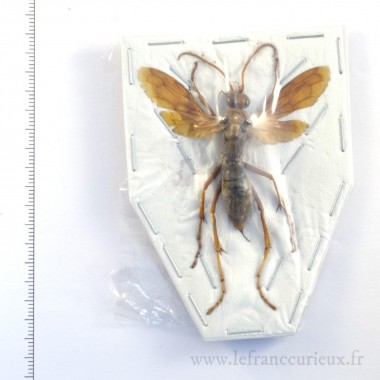 Hemipepsis aureomicans -...