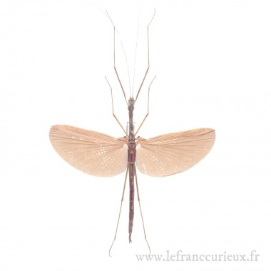 Gargantuoidea triumphalis -...