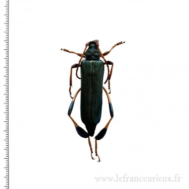 Phyllocnema gueinzii (A-) -...