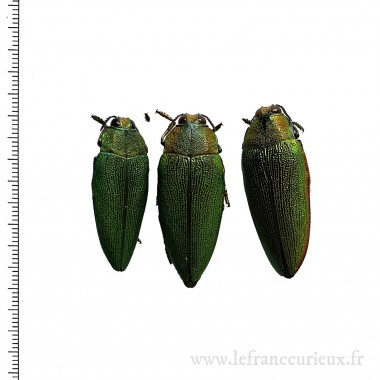 Steraspis sp. - lot de 3