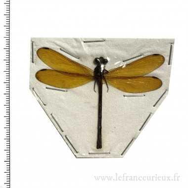 Odonates sp.18