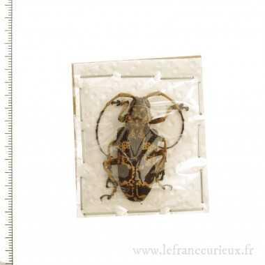 Phryneta marmorea - femelle...