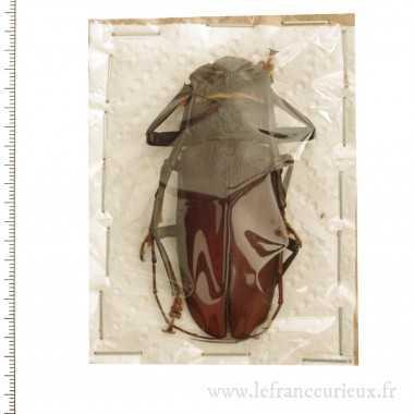 Hoplideres sp. (punctatus...