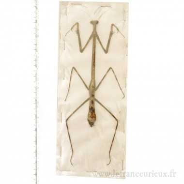 Euchomenella heteroptera -...