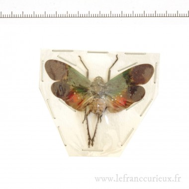 Penthicodes farinosa aeruginea