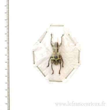 Pachyrrhynchus phaeleratus