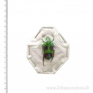 Heterorrhina versicolor