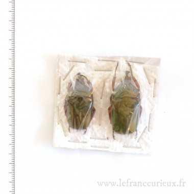 Trigonophorus nepalensis -...