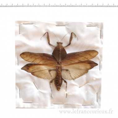 Deroplatys truncata - mâle