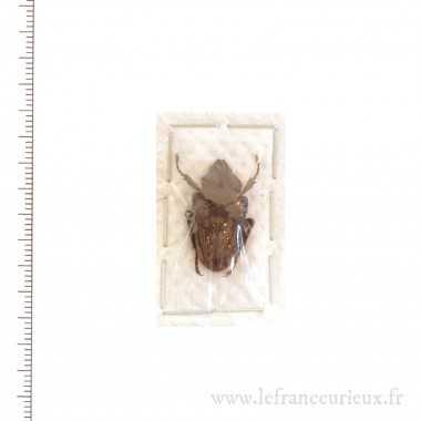 Mycteristes squamosus -...