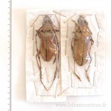 Neoplocaederus obesus -...