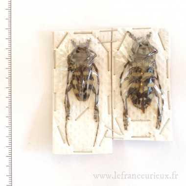 Anoplophora zonator -...