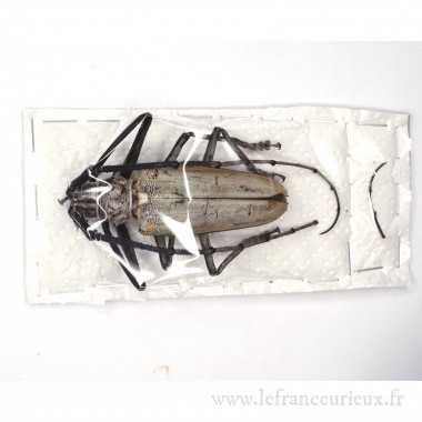 Batocera hercules (A-) -...