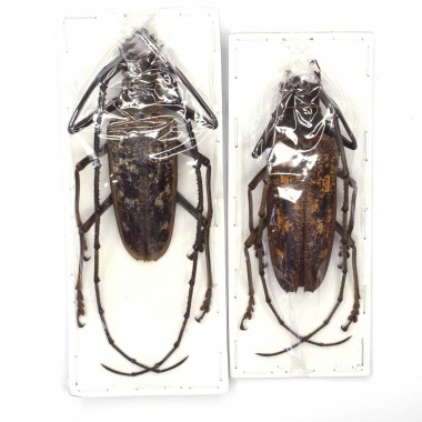 Batocera thomae s. str. -...