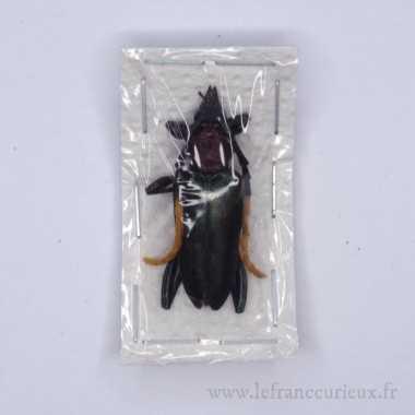 Pachyteria virescens -...