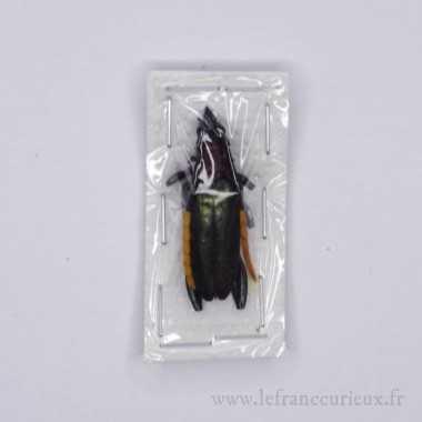 Pachyteria virescens - mâle...