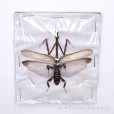 Ceratocrania macra - mâle