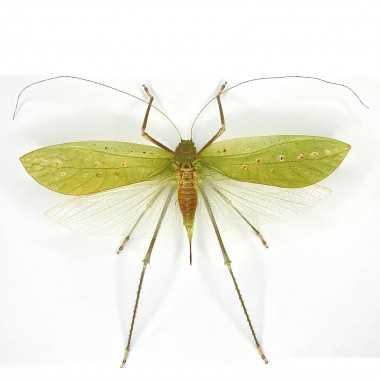 Arachnacris corporalis -...