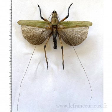 Orthoptera sp. - A-