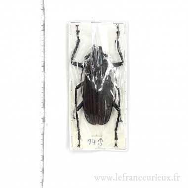 Dysiatus melas - mâle - 73mm