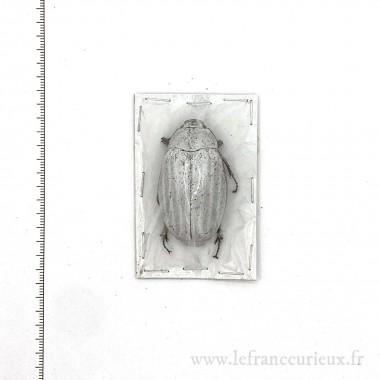 Lepidiota sp.