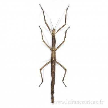 Tirachoidea westwoodi -...